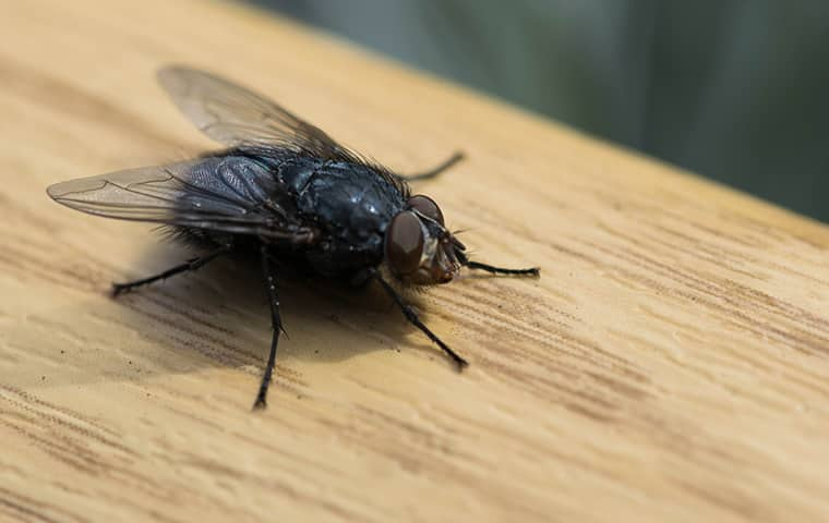 a fly crawling on a table inside of a home in dallas texas