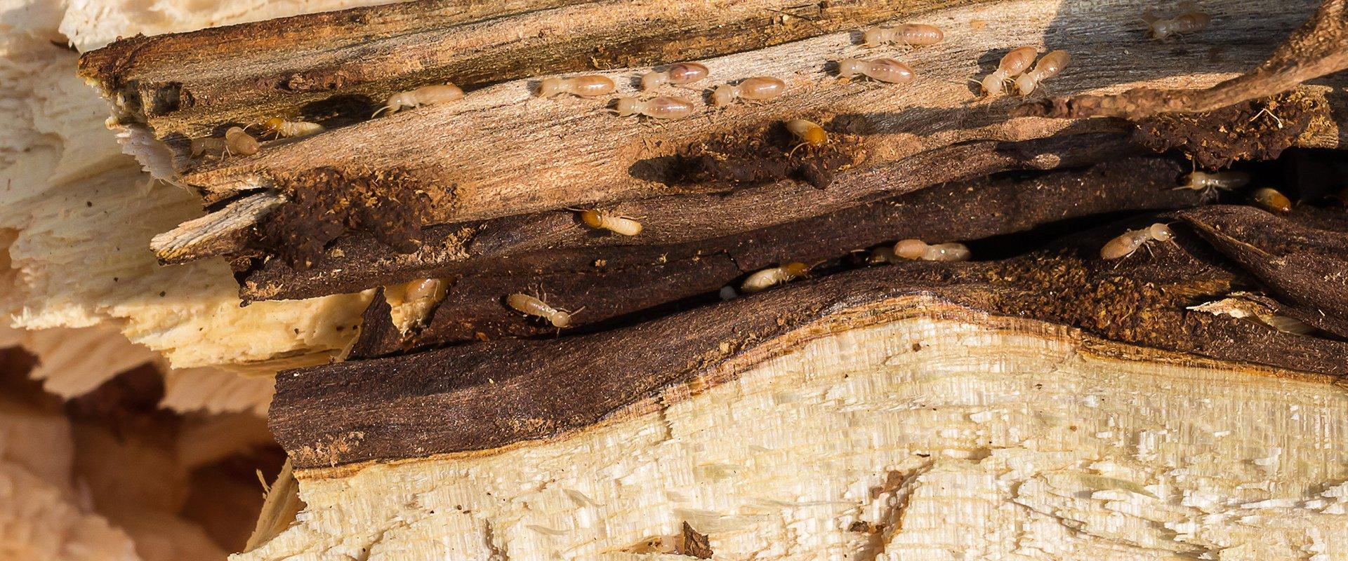 a termite infestation on a wooden structure outside of a home in fort worth texas