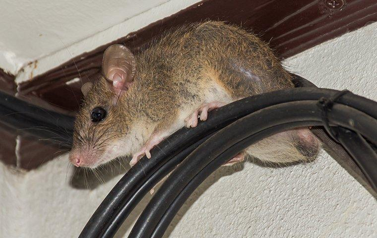 a rodent caught in a home