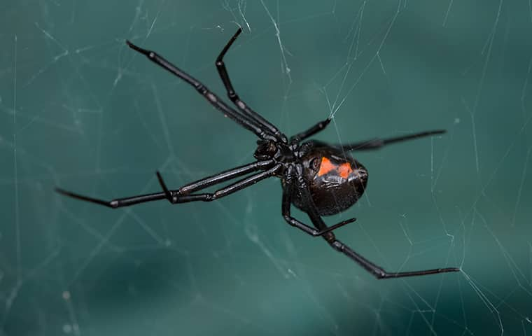 a black widow crawling on a web in a houston texas home