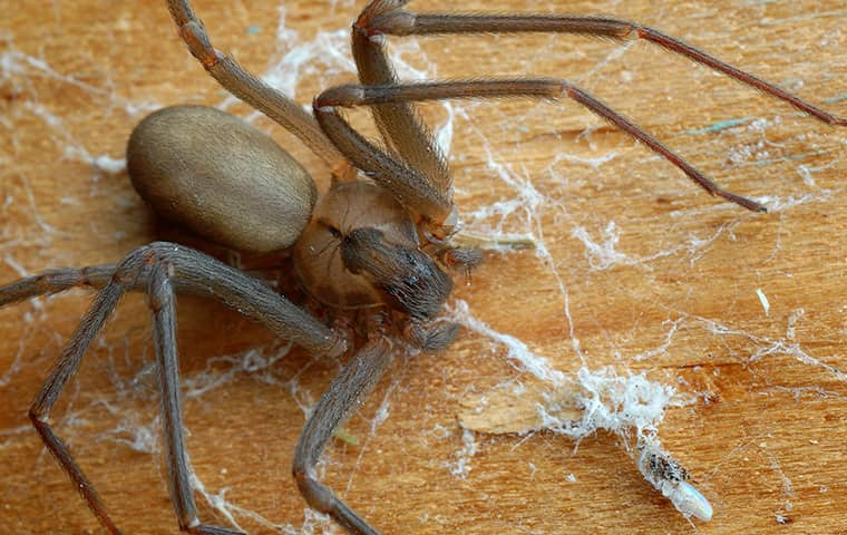 a brown recluse spider crawling on the ground in a houston texas home