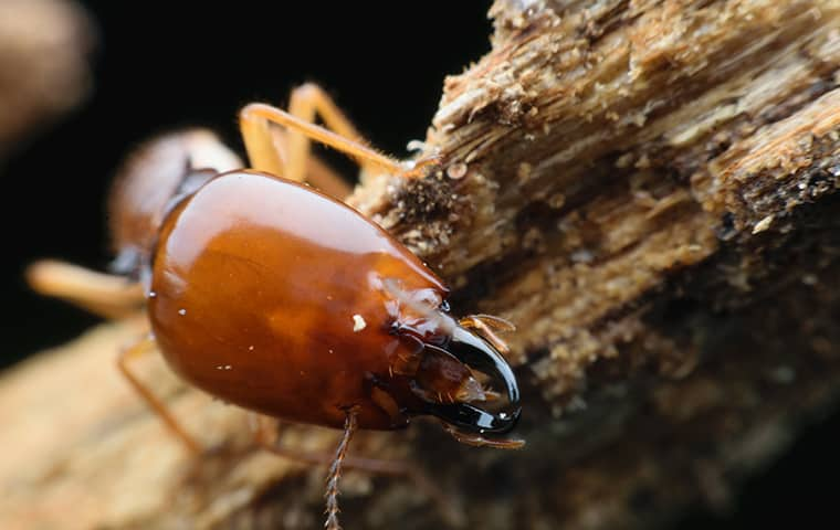 a termite eating wood in a fort worth texas home