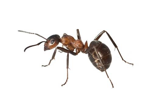 what an ant looks like
