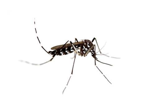 an asian tiger mosquito in virginia