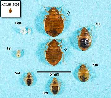 bed bug life stages and scale sizes