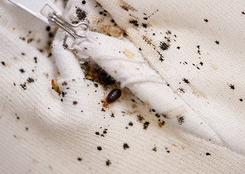 a bed bug surrounded by feces and blood stains on a sweater in glenwood maryland