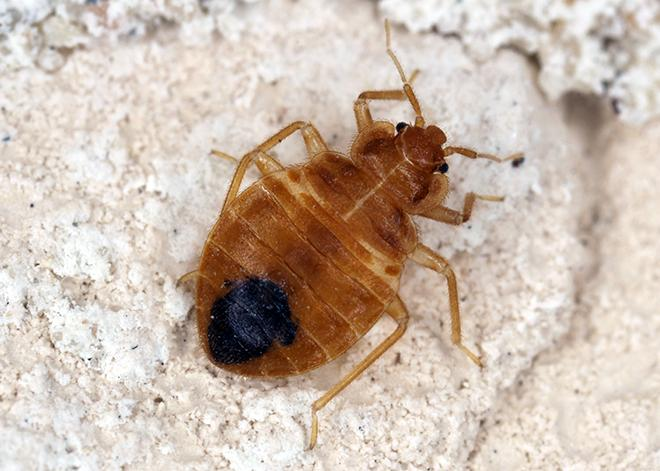 a bed bug on a floor mat in a home in great falls virginia