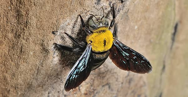 a carpenter bee on a tree outside of a home in bel air maryland