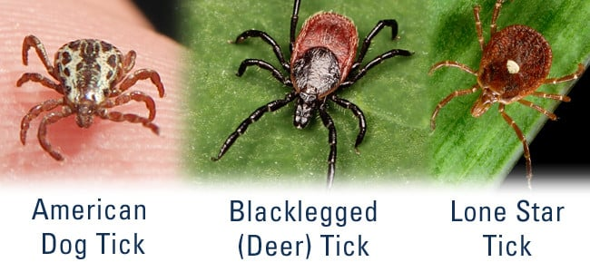 three types of ticks in maryland