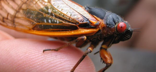 close up of a cicada on a finger
