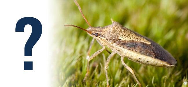 stink bug in grass