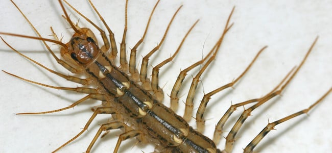 centipede crawling in a maryland home