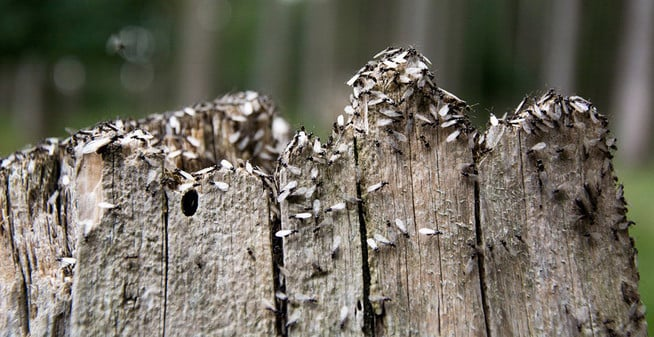 termites in stump