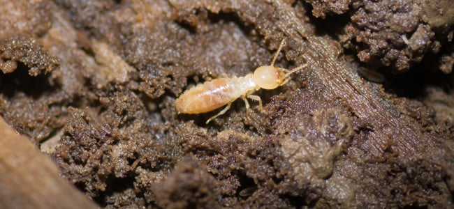 termite on ground