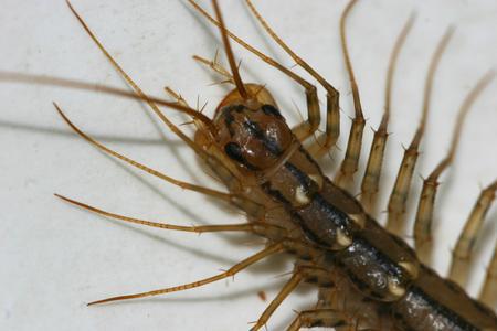 centipede on green background