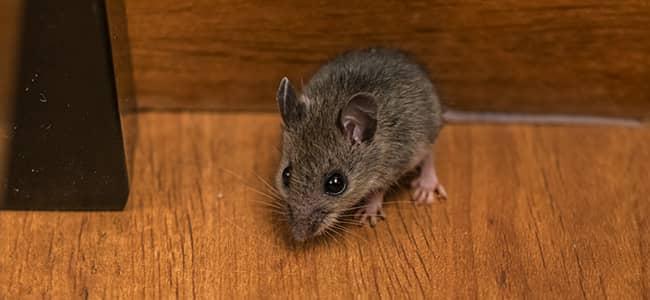 mouse stalking on hard wooden floors