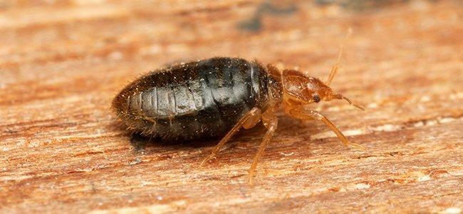 bed bug on table