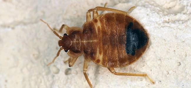 a bed bug up close