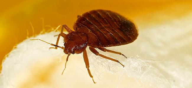bed bug on a bed