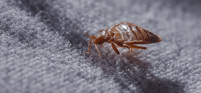 bed bug crawling on bed