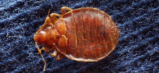 bed bug on blue rug