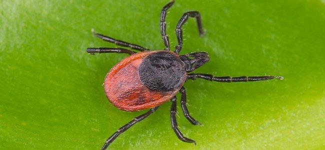 a black legged tick crawling on a leaf