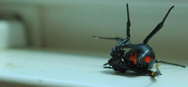 up close image of a black widow spider