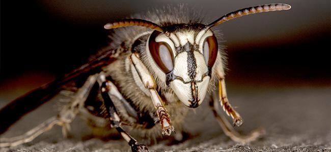 bald face hornet up close