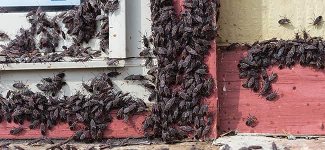 box elder bugs on a window in washington dc