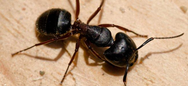 a carpenter ant crawling on a deck