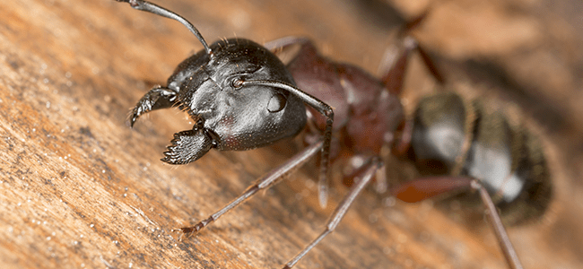 carpenter ant in maryland home