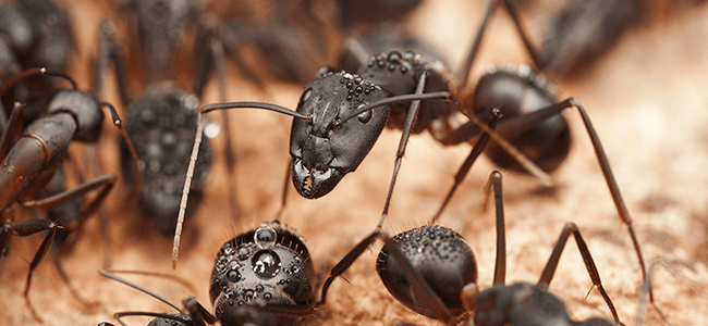 carpenter ant infestation in maryland home