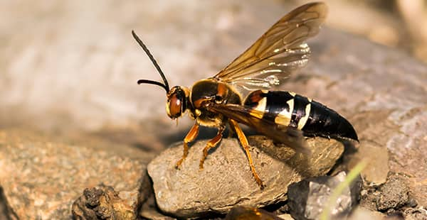 a cicada killer wasp outside of a home in brooklyn park maryland