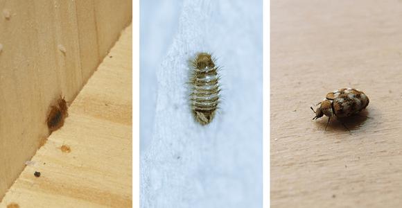 bed bugs and carpet beetles and carpet beetle larvae