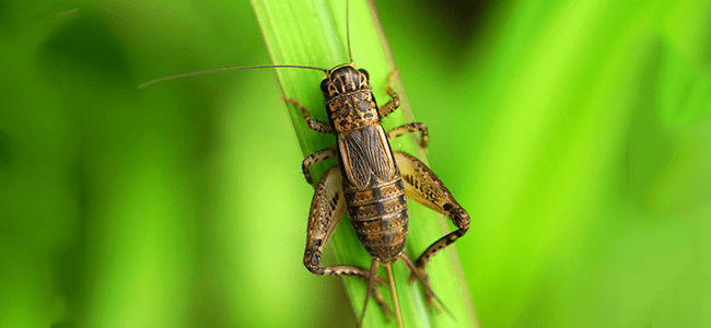 cricket on blade of grass