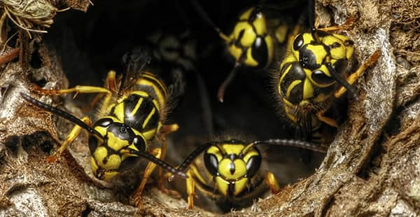 a swarm of yellow jackets emerging from a nest outside of a home in bethesda maryland