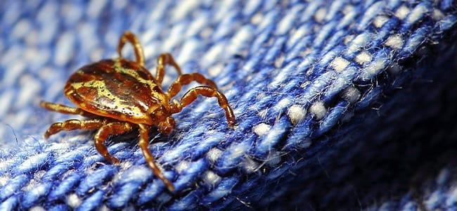tick on a rug