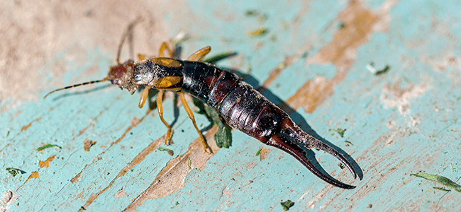 earwig crawling on floor