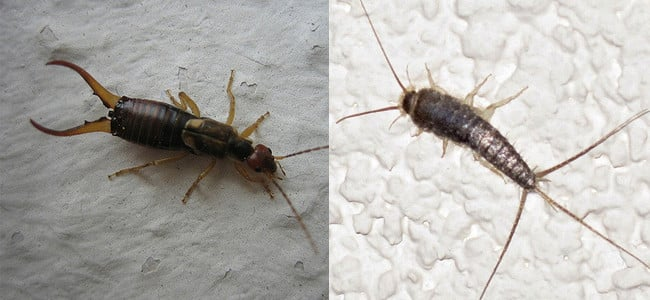 what is the difference between silverfish and earwigs