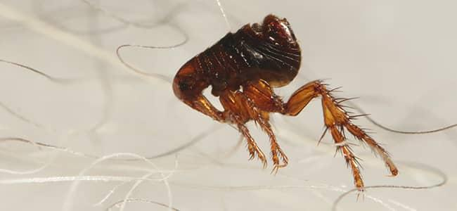 a flea on pet hair in washington dc