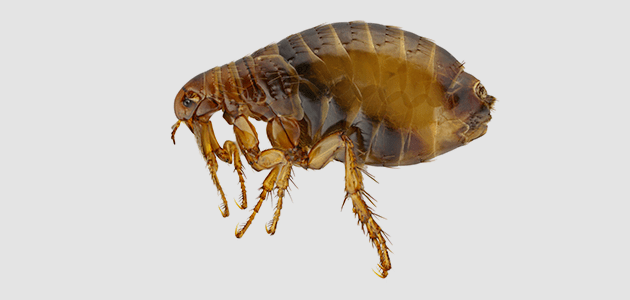 image of a flea on a white back ground