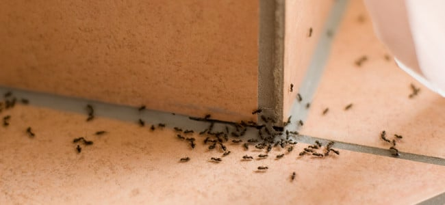ants crawling across kitchen floor in maryland