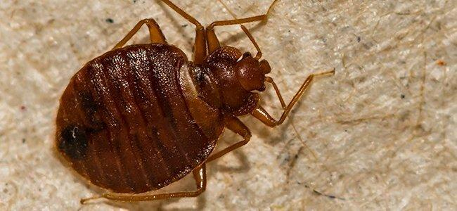 bed bug on boxspring