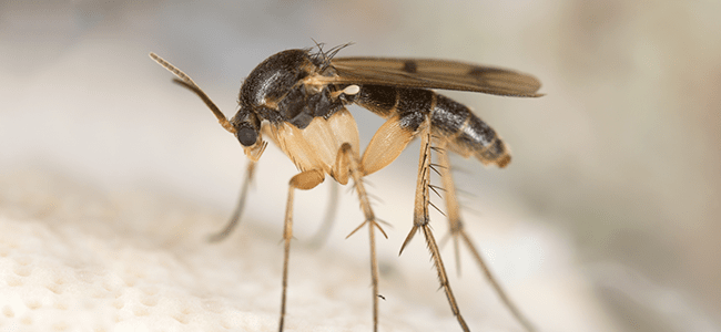 fungus gnat on food