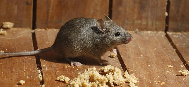 a house mouse crawling inside a home
