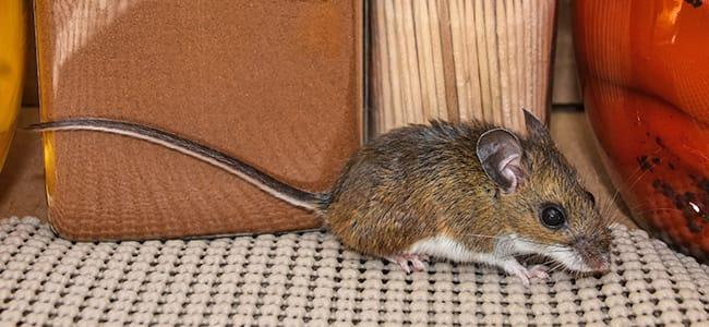 house mouse in maryland home