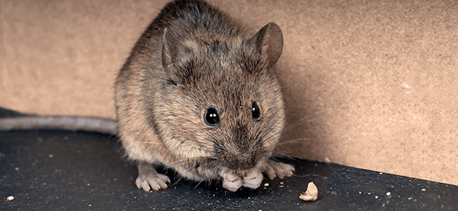 get rid of mice and rats for good with american pest in md dc and va