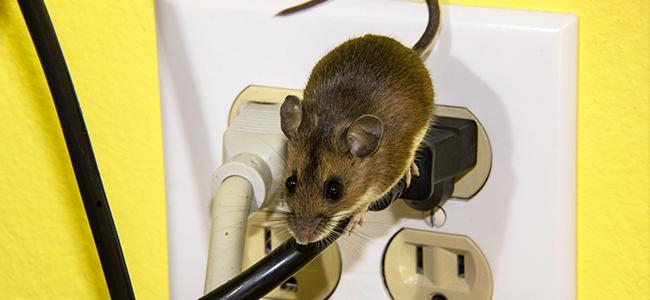 house mouse chewing wires in maryland home
