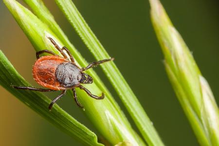 Dangerous tick climbing on plant outside.