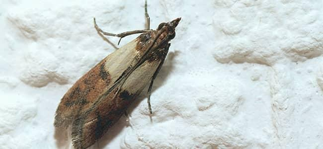 indian meal moth crawling in dc snow